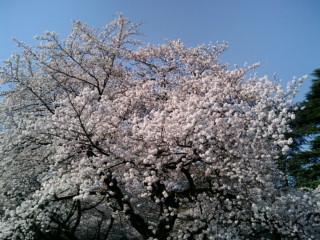 新宿御苑の桜2010.jpg